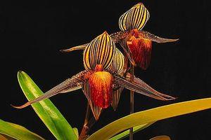 Chiêm ngưỡng loài hoa lan quý hiếm có giá tới gần 140 triệu đồng mỗi nhánh