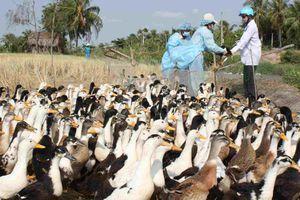 Phú Yên: Xuất hiện ổ dịch cúm gia cầm độc lực mạnh