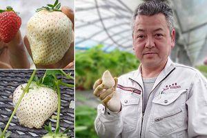 Người Nhật trồng giống dâu tây trắng đắt tiền như thế nào?