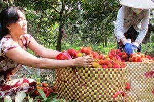 Cù lao Tân Phong: Vùng đất trù phú cây trái đặc sản
