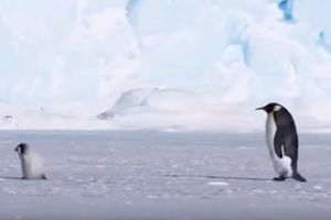 Hài hước chim cánh cụt 'FA', còn phải làm giáo viên bất đắc dĩ