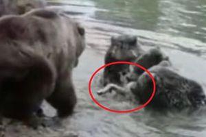 Hãi hùng bầy gấu xé xác chó sói trong vườn thú