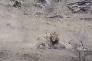 Sư tử đực vô tình 'giải cứu' lợn lòi khỏi nanh vuốt của đồng bọn