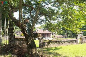 Cận cảnh 3 cây sưa trăm tuổi tại đình Quán Giá, Hà Nội
