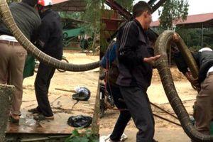 Dựng tóc gáy 5 thanh niên bắt sống hổ mang chúa 20 kg ở Vĩnh Phúc