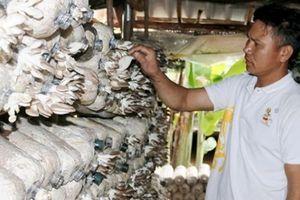 Phu thê ngược Bắc về quê trồng nấm, lãi 1 triệu đồng mỗi ngày