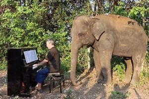 An ủi… những chú voi mù và tàn tật bằng tiếng đàn dương cầm