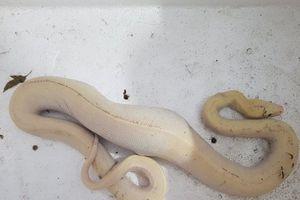 Cà Mau: Bắt được con trăn thân màu trắng kỳ lạ, nặng hơn 2kg, dài 1m
