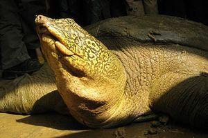 Rùa Hoàn Kiếm được ATP kiến nghị di chuyển đến nơi an toàn hơn