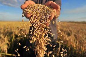 Gạo Việt Nam nhận diện thử thách trong giai đoạn mới