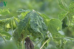 Hơn 1.300 ha sắn ở Đăk Lăk bị bệnh khảm lá sắn gây thiệt hại lớn