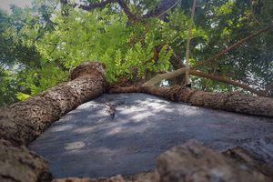 3 cây sưa trăm tuổi ở ngoại thành Hà Nội