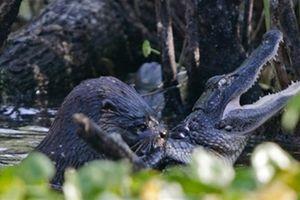 Rái cá xé xác cá sấu làm bữa trưa