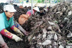 'Khóc' vì khoai lang đang từ gần 1 triệu rớt xuống 200.000 đồng/tạ