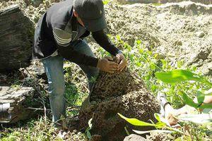 Lên rừng đào mối 'vỗ béo' cho gà