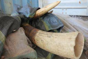 Phát hiện loạt vụ vận chuyển ngà voi và sản phẩm từ ngà voi