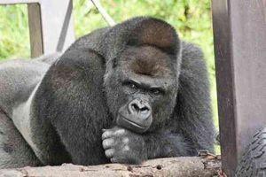 Khỉ đột đẹp trai, thần thái hút hồn như tài tử điện ảnh
