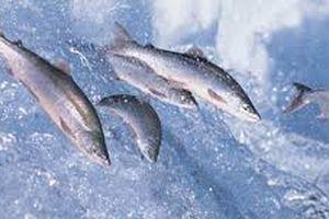 Hành trình sinh mệnh của cá hồi Atlantic