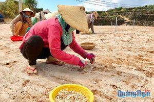Nông dân Lý Sơn bắt tay vào sản xuất vụ tỏi đông xuân 2018- 2019