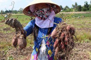Hơn 3 triệu giỏ hoa phục vụ Tết 2019, người trồng khoai điêu đứng