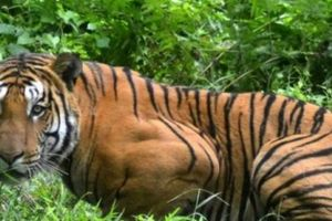 Bắn chết hổ Ấn Độ giết 13 người sau 2 năm truy lùng