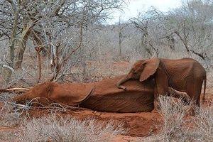 Những chuyện hy hữu liên quan loài voi