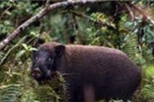 Lợn rừng nặng gần 1 tạ húc vào bụng, cắn đứt ngón tay người dân