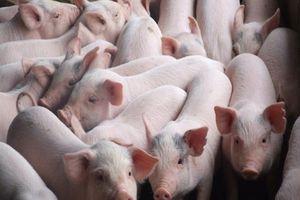 Phòng, ngăn chặn nguy cơ xâm nhiễm bệnh dịch tả lợn Châu Phi
