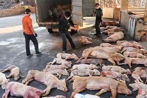 Ngăn dịch tả lợn châu Phi từ Trung Quốc