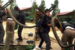 5 thanh niên bắt sống rắn hổ mang chúa 20kg ở Vĩnh Phúc