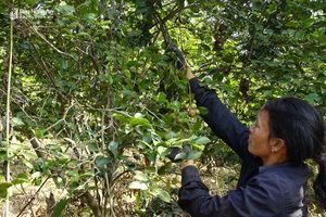 Trồng cây họ chè, hái quả hàng năm cho thu nhập lớn