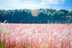 Mùa hội cỏ hồng Lâm Đồng sẽ diễn ra từ ngày 24/11
