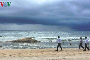 Chôn cất xác cá voi nặng 10 tấn trôi dạt vào bờ biển Quảng Trị