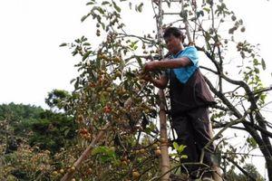 Hồng ngâm Bảo Lâm đang chín rộ, được mùa, được giá
