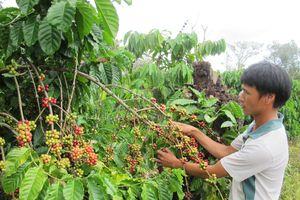 Đắk Lắk: Tăng cường bảo vệ cà phê mùa thu hoạch