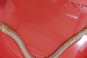 Đổ xô tới xem con lươn lạ màu trắng, vàng