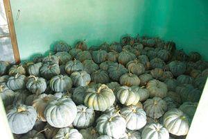 Quảng Ngãi: Bí đỏ rớt giá còn 5.000 đồng/kg, nông dân lo lắng