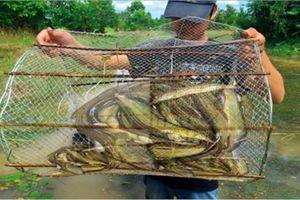 Loài cá hiếm nào ở miền Tây được ví như nhân sâm nước?
