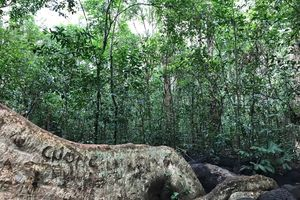 'Cường, Hải, Lan, Điệp' nham nhở trên cây tung ngàn năm ở Vườn quốc gia Cát Tiên
