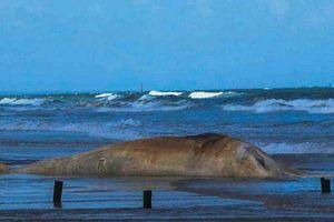 Xác cá 'ông' nặng 10 tấn dạt vào bờ biển Quảng Trị