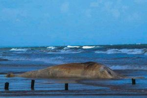 Phát hiện và chôn cất xác cá voi nặng 10 tấn trôi dạt vào bờ biển Quảng Trị