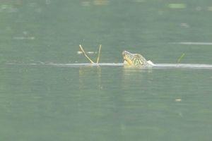 Có nhiều hơn một rùa Hoàn Kiếm ở hồ Đồng Mô?