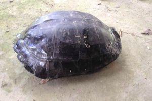 Mua rùa 9 kg có khắc chữ trên lưng để phóng sinh
