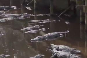 Người đàn ông nhảy qua hàng rào rớt xuống đầm cá sấu ở Mỹ