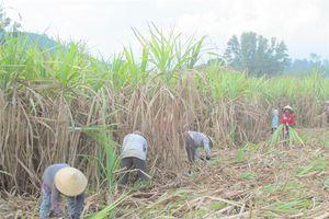 Khánh Hòa: Nông dân thờ ơ cây mía