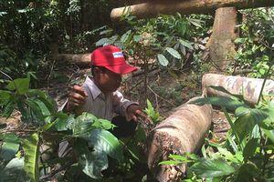 Ly kỳ vụ phá rừng ở Bình Phước: Trưởng ấp phản bác, có sự 'khai man' trong xác minh thủ phạm