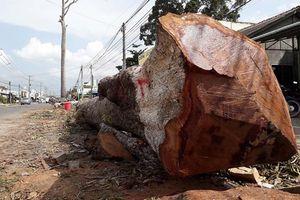Đấu giá gần 1.100 mét khối gỗ