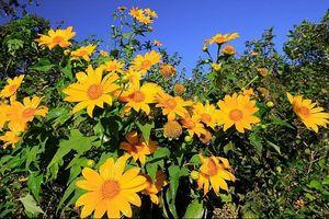 Lạc vào thế giới hoa dã quỳ ở Đà Lạt