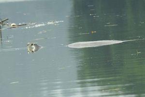 Có nhiều hơn 1 'cụ rùa' Hồ Gươm ở Đồng Mô?