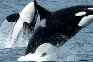 Bảo tồn cá voi nhờ hình ảnh chụp vệ tinh